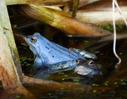 Die blauen Frösche vom Söllkensee